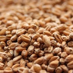 Солод пшеничный светлый «Вайерманн — Вит» (Wheat Malt Weyermann) - фото 6442