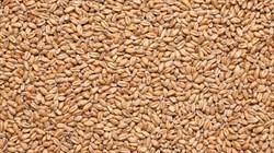 Солод пивоваренный «Пшеничный», Курский Солод - фото 4848