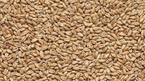 Солод пшеничный специальный Wheat Blanc, Castle Malting