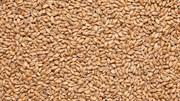Солод пивоваренный «Пшеничный», Курский Солод