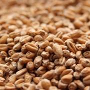 Солод пшеничный светлый «Вайерманн — Вит» (Wheat Malt Weyermann)